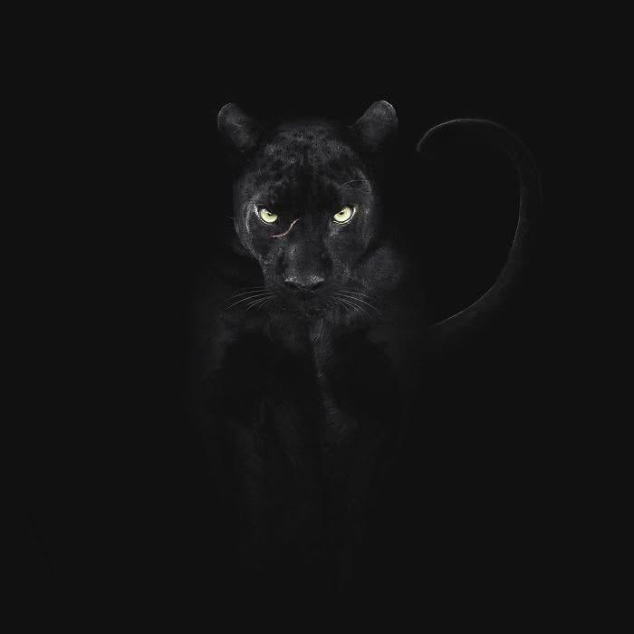 foto pantera negra com fundo preto