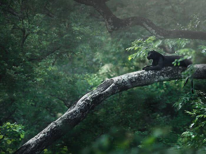 foto de pantera negra deitada na floresta