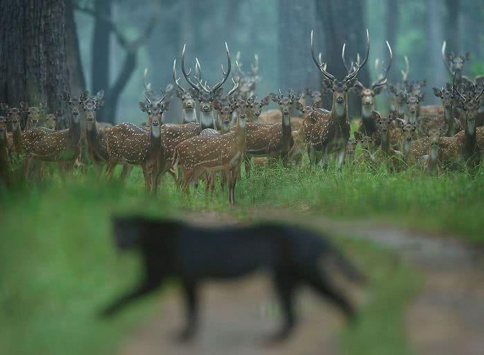 foto de pantera negra e um rebanho de cervos assustados