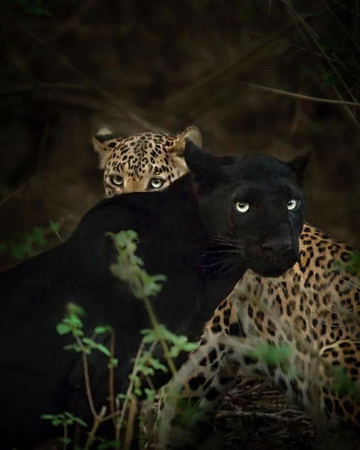 pantera negra e leopardo pintado