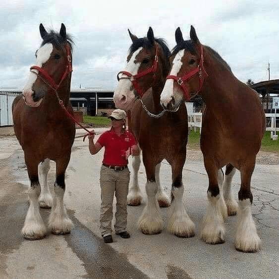 Cavalos da raça clydesdale são muito grandes