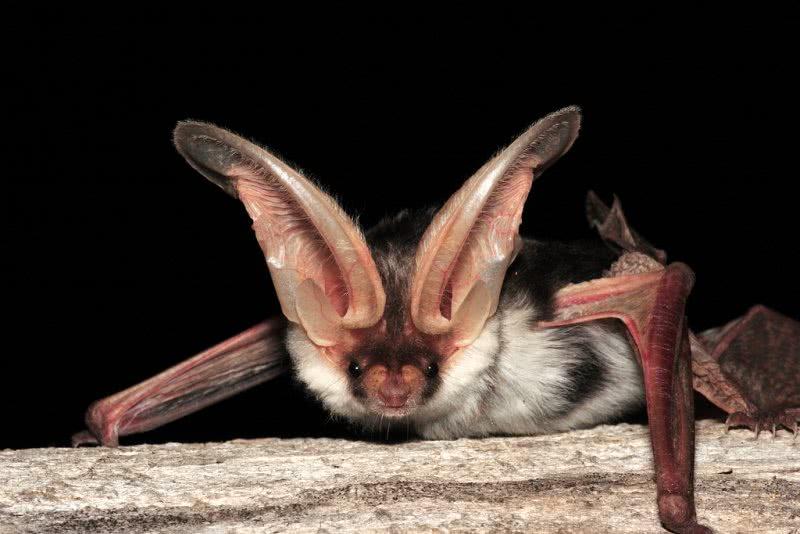 Euderma maculatum  ou morcego malhado