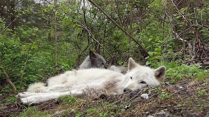 lobos cinzentos cochilando