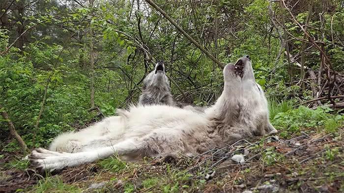 lobos uivando deitados