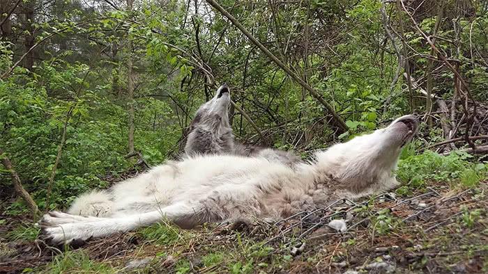 lobos preguiçosos uivando