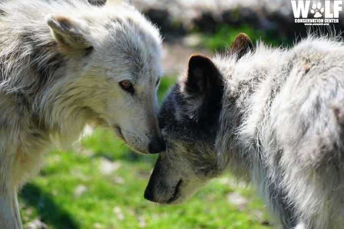 Dois lobos cinzentos