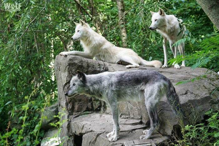 Três lobos cinzentos irmãos