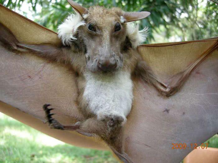Epomops buettikoferi: um morcego que parece um cachorro