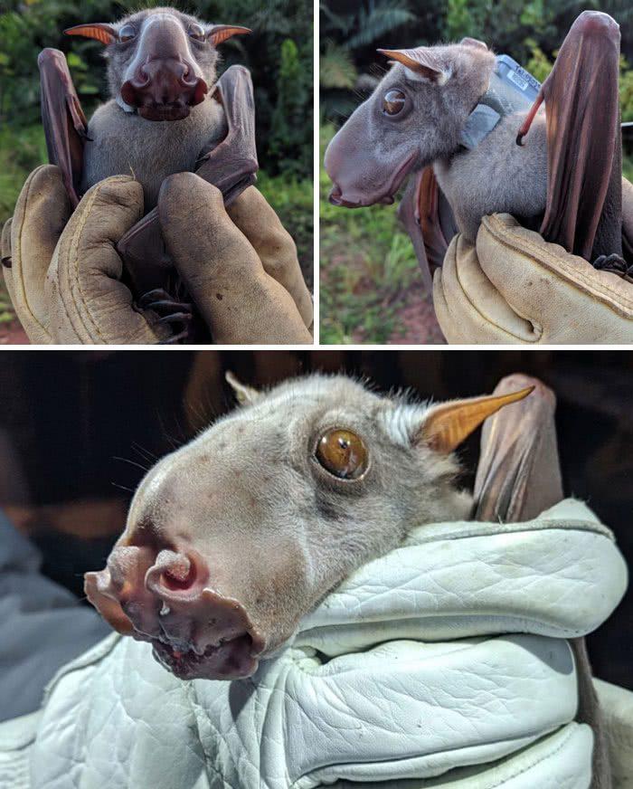 Hypsignathus monstrosus, o morcego-martelo