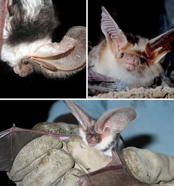 morcego Euderma maculatum