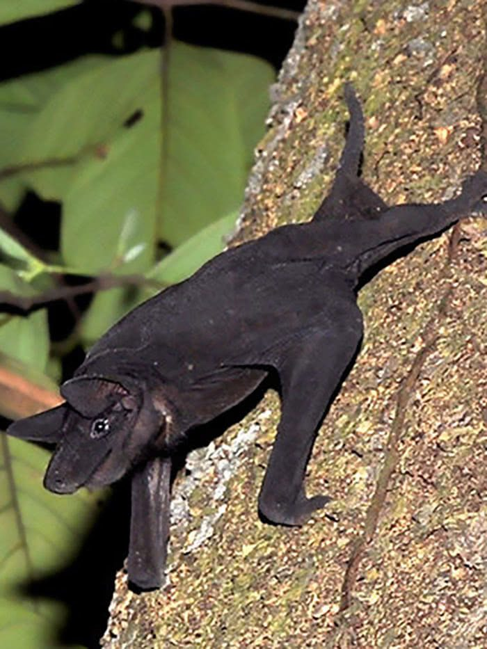 Cheiromeles torquatus ou morcego-pelado