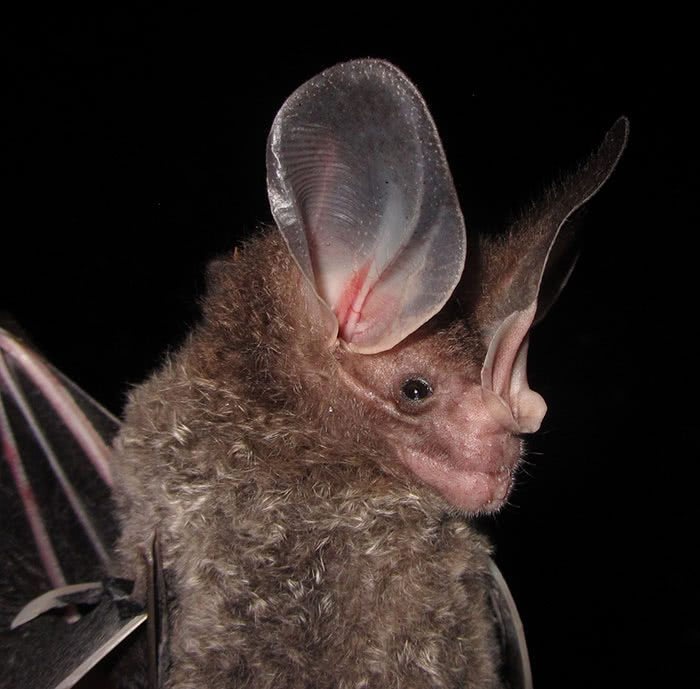 Andirá-guaçu, falso-vampiro ou morcego-orelhudo