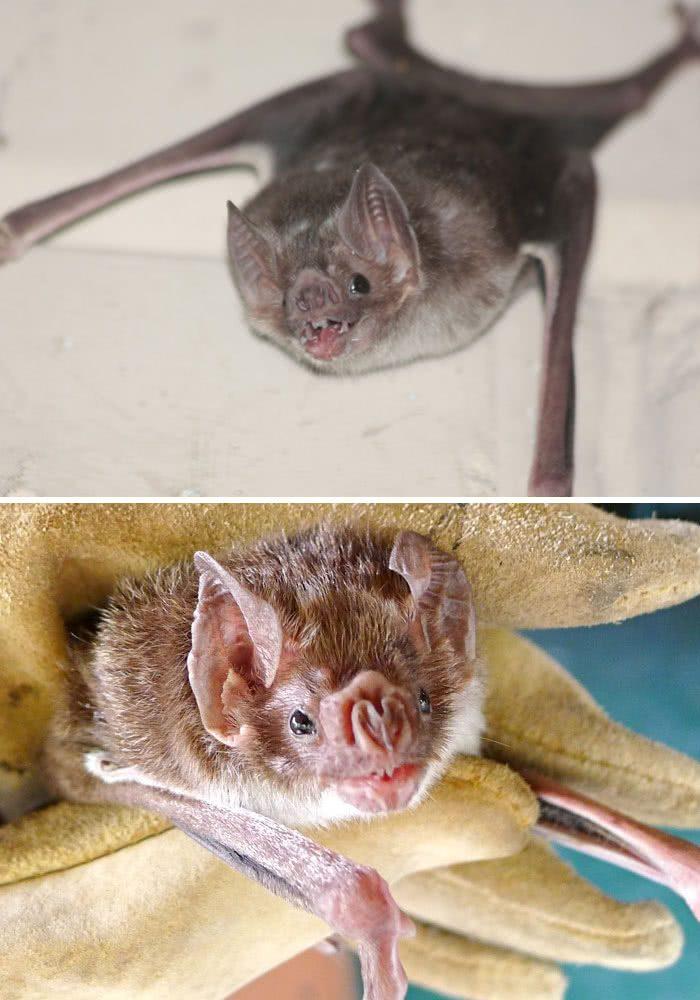 Morcego vampiro (Desmodus rotundus)