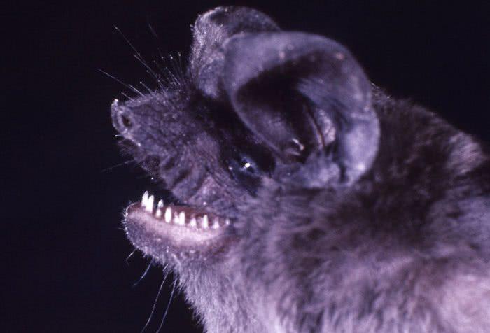 Artibeus jamaicensis: morcego da fruta da Jamaica