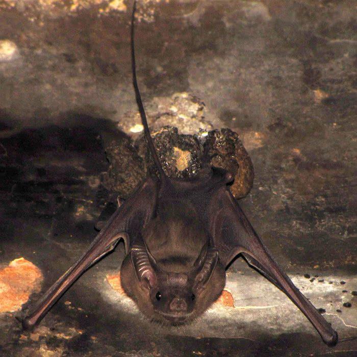 Rhinopoma hardwickii