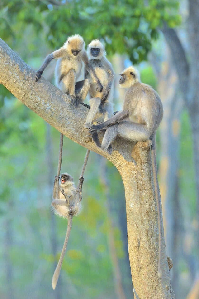 Foto engraçada de macacos