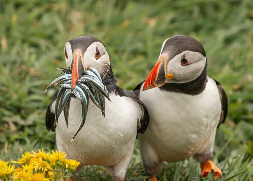 Foto engraçada de papagaios marinhos