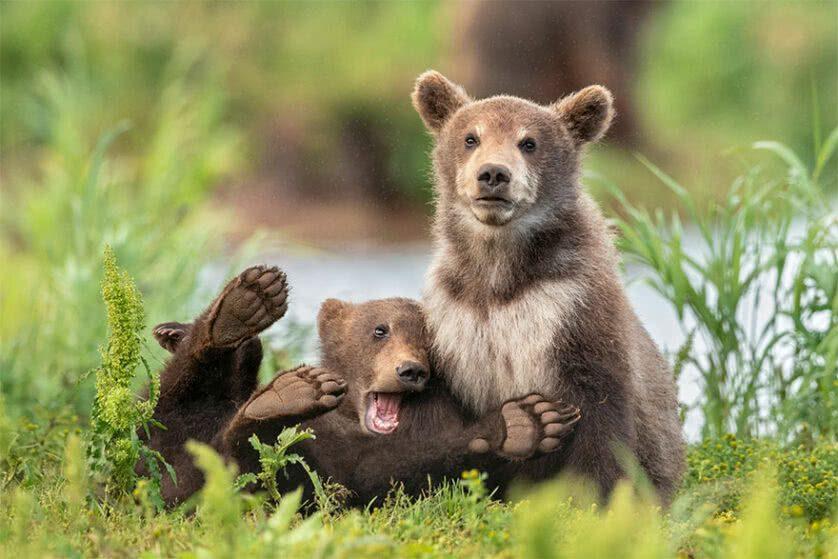 Foto engraçada de filhotes de urso