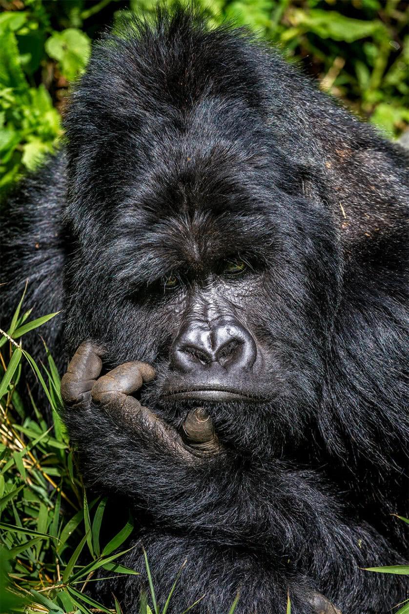 Foto engraçada de um gorila pensando