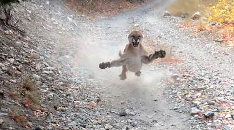 Puma persegue homem durante 6 minutos e vítima filma tudo em vídeo aterrorizante