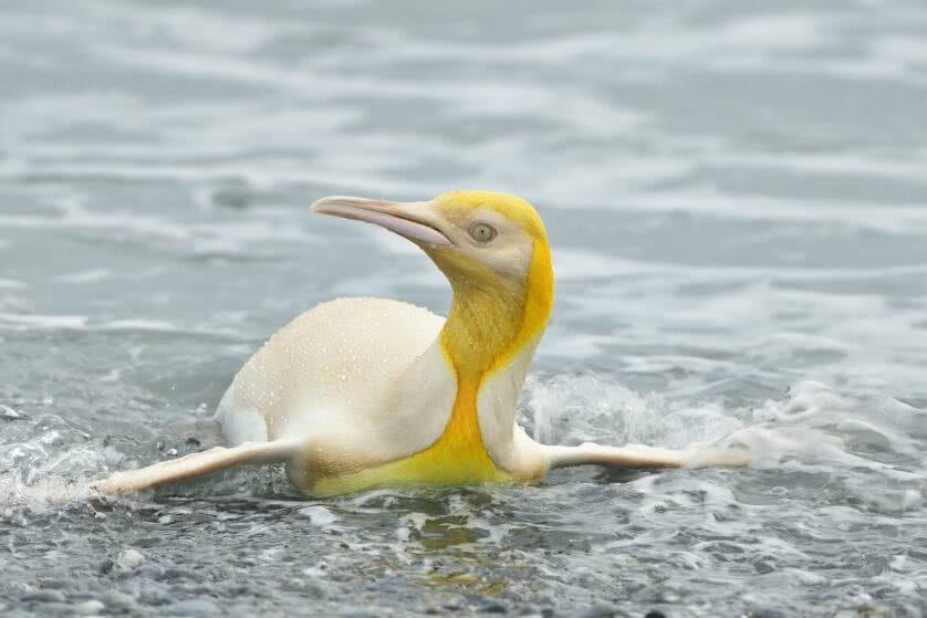 """Incrível: fotógrafo captura imagens de um pinguim amarelo """"nunca visto antes"""""""